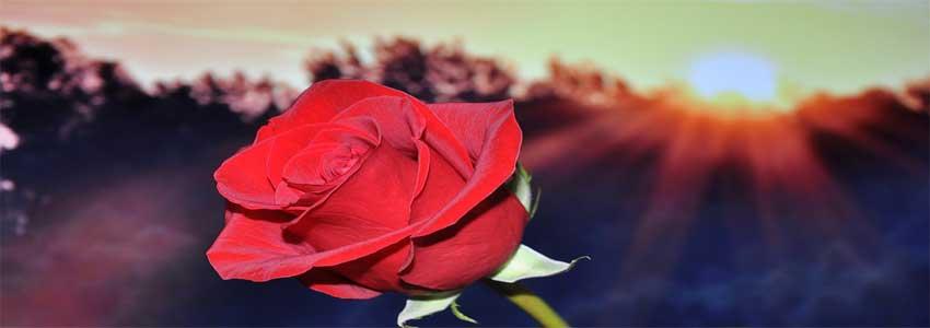 giv kæresten en rose som en spontane gaveide