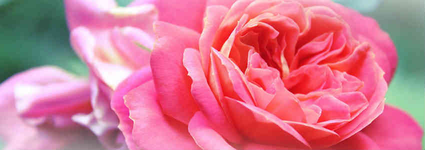 roser skaber den dejlige duft i parfume til kvinder