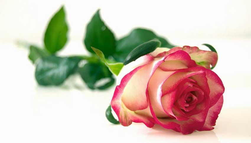 en rose er en nødvendig valentinsgave