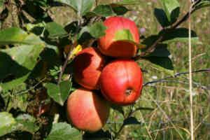 Køb et frugttræ som den søde dåbsgave
